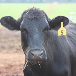 M3 Farm Black Angus