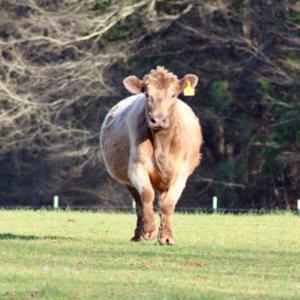 M3 Farm Brood Cow