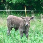 M3 Farm Calf